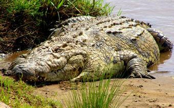 Krokodyle uciekły z hodowli w Tajlandii